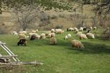 Herd of sheep in Transylvania, Romania poster