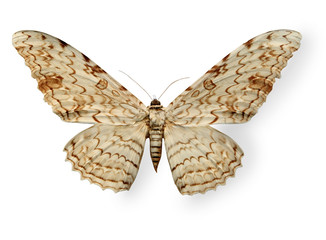 Beige leopard butterfly isolated on white