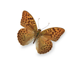 Yellow leopard butterfly isolated on white