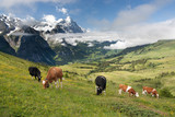 Cows in Alps, Switzerland