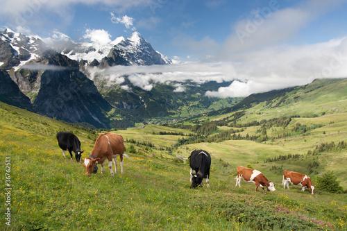 Cows in Alps, Switzerland © Jakub Jirsák