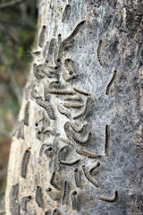 Nest mit Eichen-Prozessionsspinnern 2