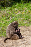 Baboon mother breast feeding her youngster poster