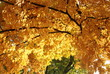 A spray of golden autumn tree leaves
