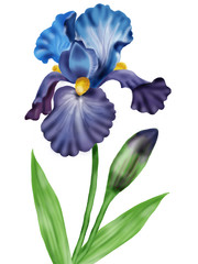 Flowers irises.