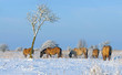 Wild horses grazing in the snow