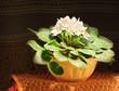 Pot of white saintpaulia flowers