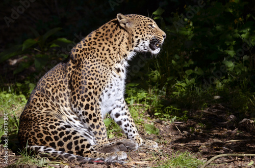 In de dag Luipaard Leopard of profile (Panthera pardus) sitting on ground
