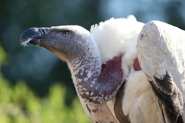 Cape Vulture Bird