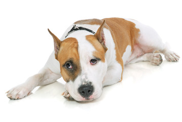 American Staffordshire terrier on white background
