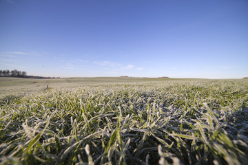 Frost in young wheat.