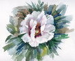 Watercolor Flower Collection: White Poppy
