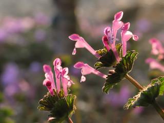 ホトケノザ(Herbit)