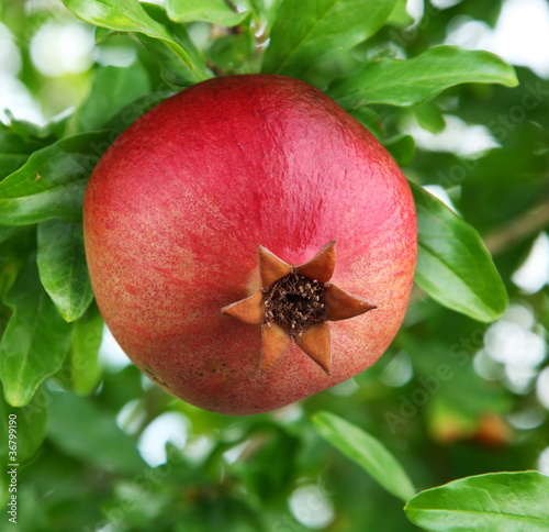 Ripe pomegranate on a tree. © volff