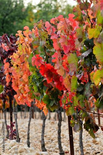 champ de vignes en automne