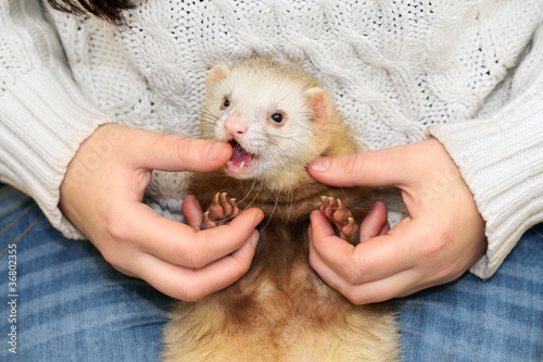 Ferret bites the mistress