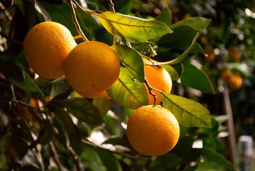 arance sull'albero