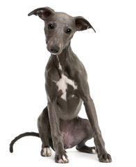 Whippet puppy, 6 months old, sitting