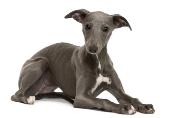 Whippet puppy, 6 months old, lying
