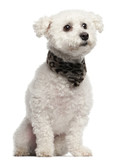 Bichon Frise, 3 years old, sitting in front of white background poster