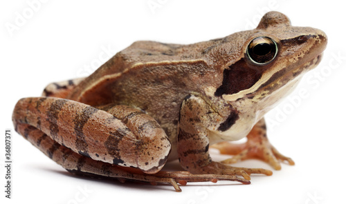 Moor Frog, Rana arvalis, in front of white background - 36807371