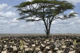 Herd of wildebeest migrating in Serengeti National Park, Africa poster