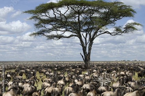 Plexiglas Zebra Herd of wildebeest migrating in Serengeti National Park, Africa