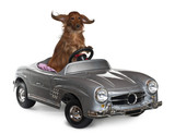Dachshund, 3 years old, driving convertible
