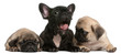 French Bulldog puppy yawning between two Pug puppies
