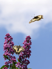 Butterflies on a lilac and in flight, on a background of the sky