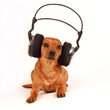 dog with headphones