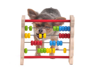 Chihuahua puppy is learning to count with Abacus