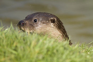 Head of an otter