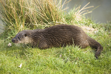 Otter on river bank
