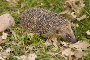 Hedgehog sniffing leaves