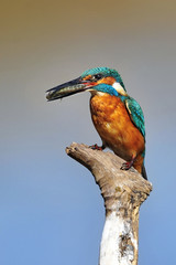 The Common Kingfisher (Alcedo atthis) with fish