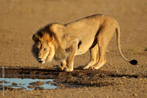 Fotobehang African lion drinking