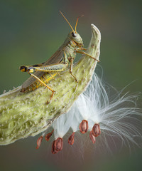 Grasshopper on milkweed