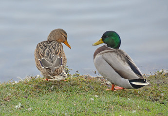couple of mallard near the lake