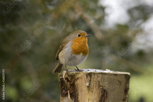 Robin sat on a post