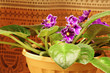 Saintpaulia flowers