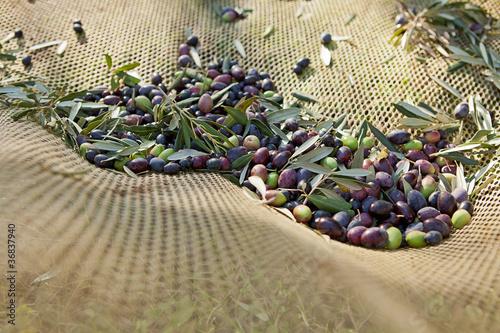 Leinwandbild Motiv olive nella rete
