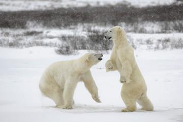 Fighting polar bears.