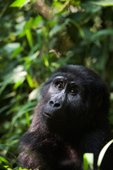 Portrait of a mountain gorilla at a short distance.