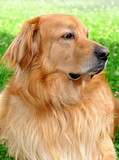 Hovawart - dog bred for guarding houses poster