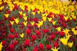 Tulpen und Tausendschönchen
