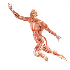 Flight man muscles anatomy system isolated on white background