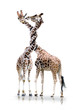 Giraffen mit verdrehten Hals