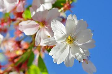 Frühling - Kirschblüten