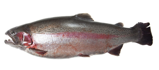 Large rainbow trout (Oncorhynchus mykiss)
